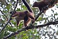 Red-bellied lemur with baby (15721543929).jpg