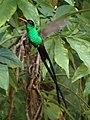 Red-billed Streamertail male Jamaica 01.jpg