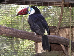 Red-billed toucan 31l07.JPG