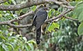 Red-chested cuckoo female.jpg