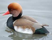 external image 220px-Red-crested.pochard.slimbridge.arp.jpg