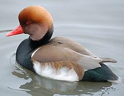 Red-crested.pochard.slimbridge.arp.jpg