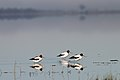 Red-necked Avocets (21555953580).jpg