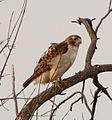 Red-tailed hawk (32291261573).jpg