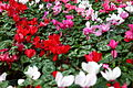 Red-white-pink-flower-cyclamen - West Virginia - ForestWander.jpg