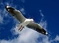 Red Billed gulls (5) (8385128783).jpg