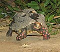Red Footed Tortoise 001.jpg