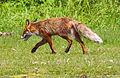 Red Fox 2012.jpg