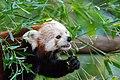 Red Panda (36831198993).jpg