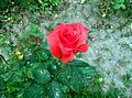 Red Rose blooming.jpg