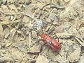 Red bug in garden.jpg