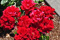 Red roses at Lake View Cemetery.jpg