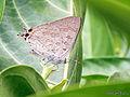 Red spot butterfly (Zesius chrysomallus).jpg
