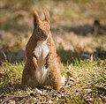 Red squirrel (41015012174).jpg