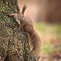 Red squirrel (49490688843).jpg