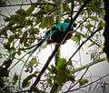 Resplendent Quetzal (Pharomachrus mocinno) - Flickr - gailhampshire (1).jpg