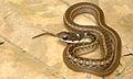 Rhabdophis spilogaster (KU 327287) from Barangay Dibuluan, San Mariano - ZooKeys-266-001-g093.jpg