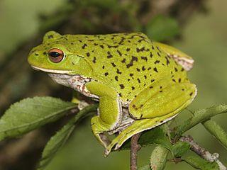 <i>Rhacophorus arboreus</i> species of amphibian