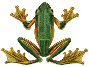 Rhacophorus reinwardtii - Image: Rhacophorus reinwardtii