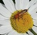 Rhagonycha fulva - Flickr - S. Rae.jpg