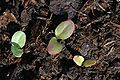 Rheum rhabarbarum sprouting 002.jpg