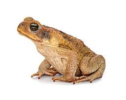 Rhinella marina (Linnaeus, 1758) - cane toad (4562925062)