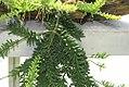 Rhipsalis mesembryanthoides 0zz.jpg