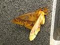 Rhodinia fugax (15473176061).jpg