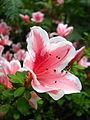 Rhododendron cv. 012.JPG