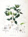 Rhodotypos scandens SZ99.png