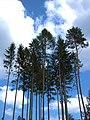 Riesen Bäume.jpg