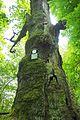 Rieseneiche Sauerbusch (2).jpg