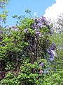 River Ching footpath 19, Wisteria, South Chingford, London, England.jpg