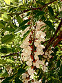 Robinia pseudoacacia - Black Locust 2.jpg