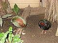 Rollulus rouloul in Zoo Krefeld (3).JPG