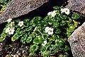 Romanzoffia californica 2.jpg