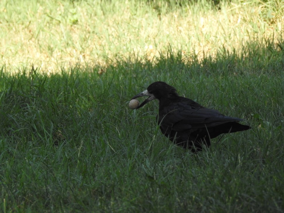 Rook in the grass 01
