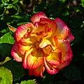 Rosa 'Bonanza', Bad Wörishofen, Alemania, 2019-06-20, DD 03.jpg
