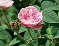 Rosa 'Petite Lisette'.jpg
