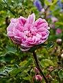 Rosa 'Salet'. Locatie, De Kruidhof Buitenpost 02.jpg