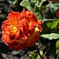 "Rosa ""Bea"". 06.jpg"