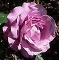 Rosa Royal Amethyst 1.jpg