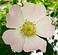 Rosa canina inflorescence (111).jpg