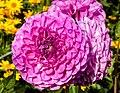 Rosa dahlia Gotland.jpg