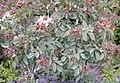 Rosa glauca plant (06).jpg