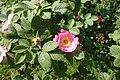 Rosa pulverulenta kz04.jpg