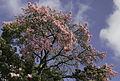 Rosa tree?.jpg