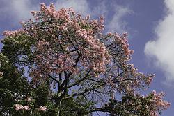alt=Description de l'image Rosa tree?.jpg.