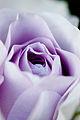 Rose, Blue Bajou5.jpg