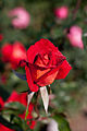 Rose, Kagayaki - Flickr - nekonomania.jpg